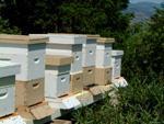 قيمة الإنتاج السنوي بلغ 20 ملياراً.. النحل السوري بين أسباب ضعف الإنتاج.. وأسباب فقدان أعداد كبيرة منه.. مناحل الساحل جيدة عموماً والمراعي متنوعة